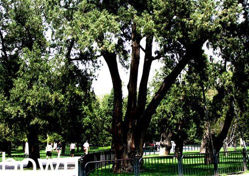 松树的生命力是远不及柏树的图片